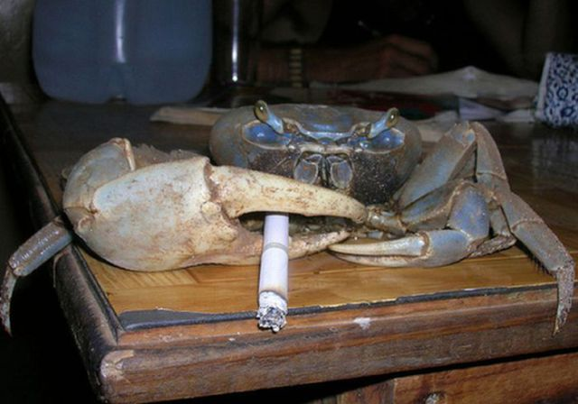 Smoking Crabs (19 pics)
