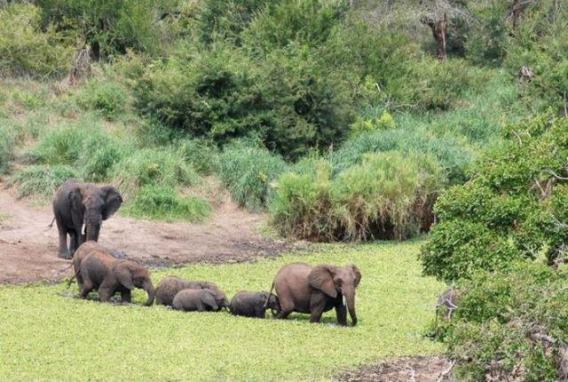 Elephants to the Rescue (5 pics)